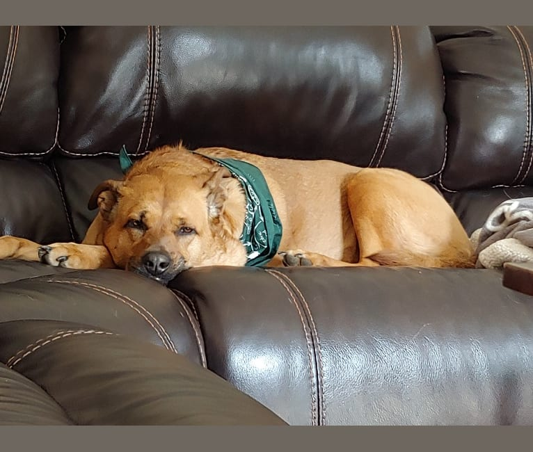 Photo of Brownie, an Australian Cattle Dog, American English Coonhound, Boxer, and Akita mix in Norfolk SPCA Adoption Center, Ballentine Boulevard, Norfolk, VA, USA