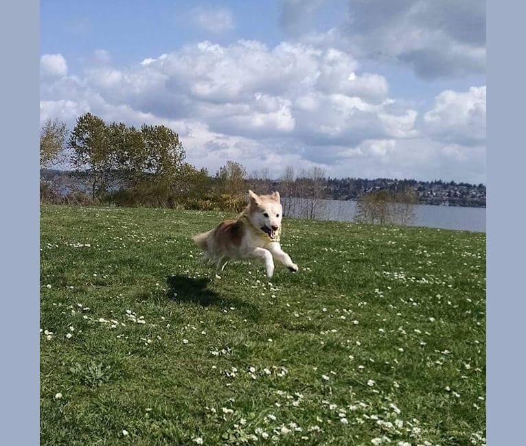 Photo of Nike, a German Shepherd Dog, Siberian Husky, and Mixed mix