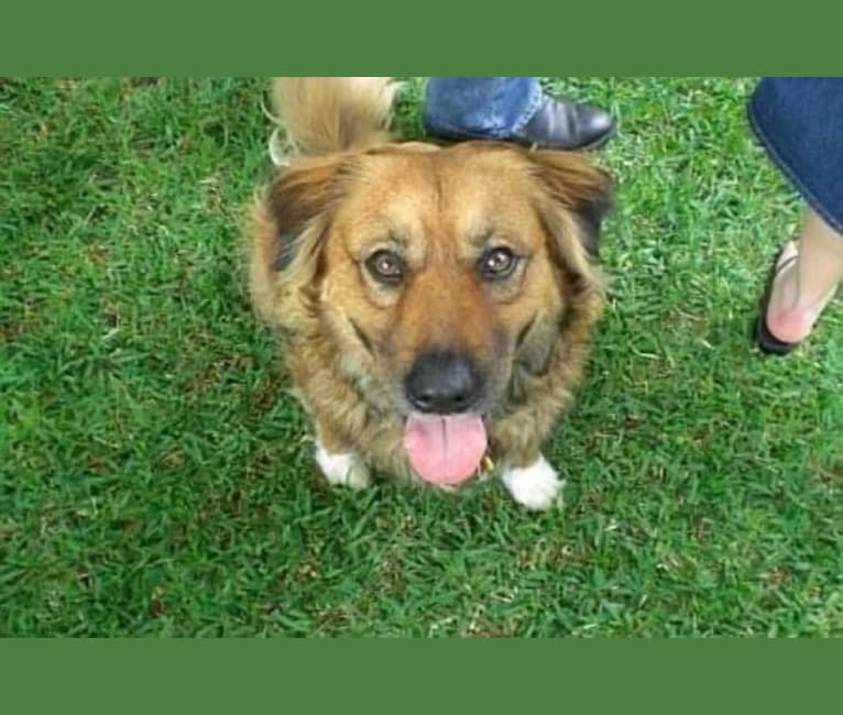 Photo of Hank, an Australian Cattle Dog, Border Collie, Rottweiler, and Chow Chow mix in Hurst, Texas, USA