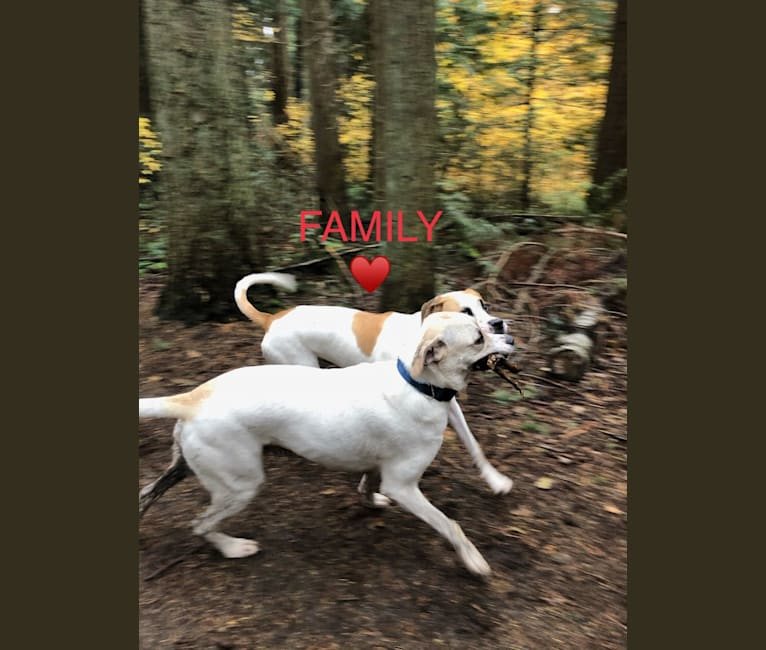 Photo of Tommy, an American Bulldog, Perro de Presa Canario, and Great Dane mix in North Vancouver, British Columbia, Canada