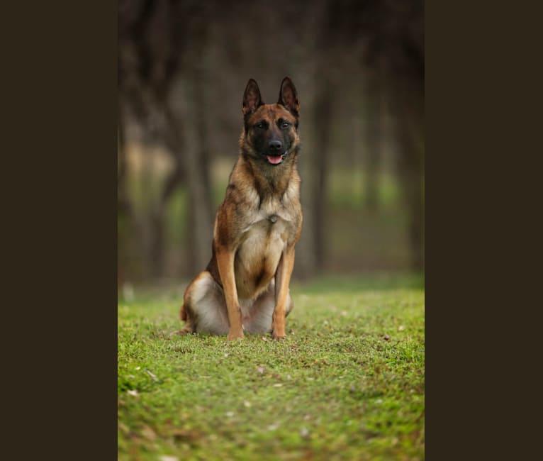 Photo of Elle, a Belgian Shepherd  in California, USA