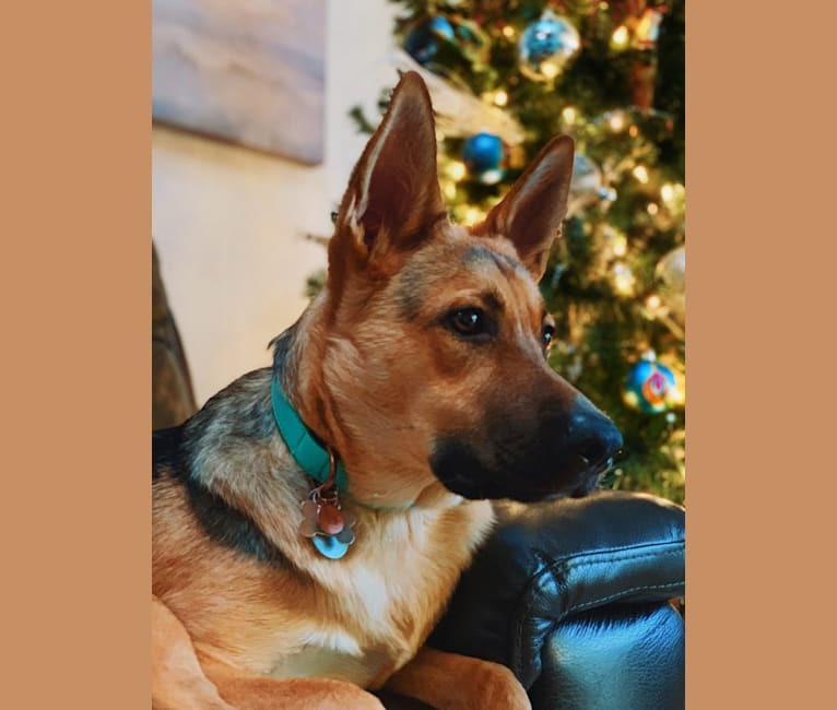Photo of Layla, a German Shepherd Dog mix in Scotts Valley, California, USA