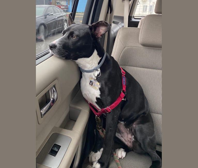 Photo of Melon, an American Pit Bull Terrier, American Staffordshire Terrier, Border Collie, Australian Cattle Dog, and Australian Shepherd mix in Fresno, California, USA