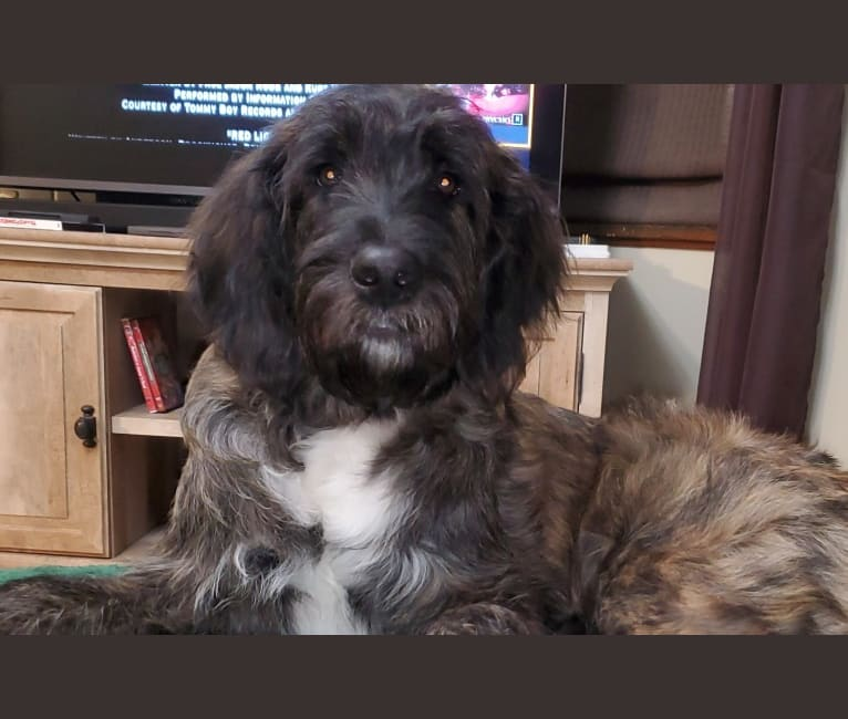 Photo of Kylo, a St. Berdoodle  in Belleville, PA, USA
