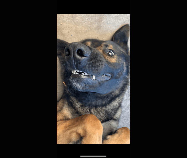 Photo of Rambo Alpha Ilio, a Belgian Malinois and German Shepherd Dog mix in Rialto, CA, USA