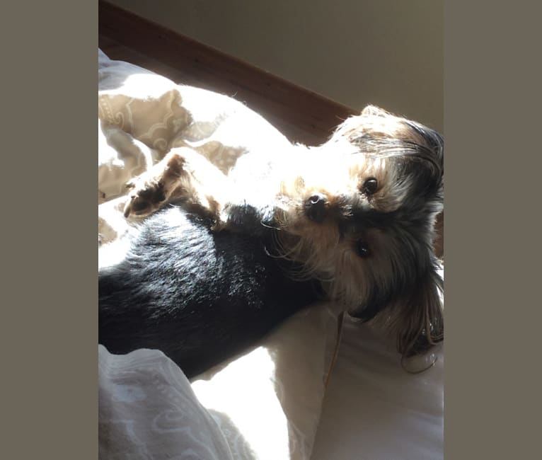 Photo of Benji, a Yorkshire Terrier  in Shannon, County Clare, Ireland