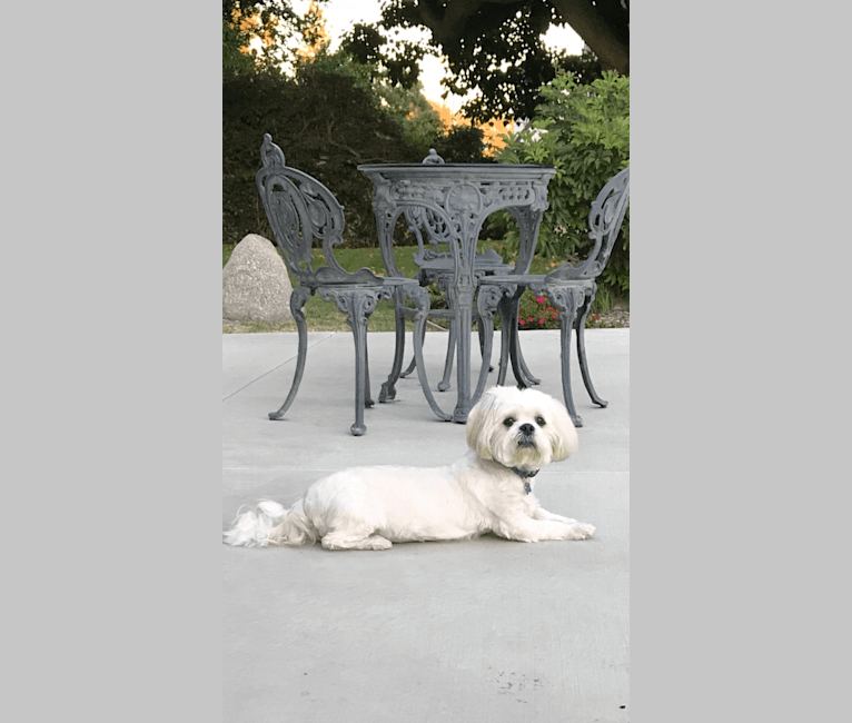 Photo of Heidi, a Shih Tzu, American Eskimo Dog, and Lhasa Apso mix in Tustin, California, USA