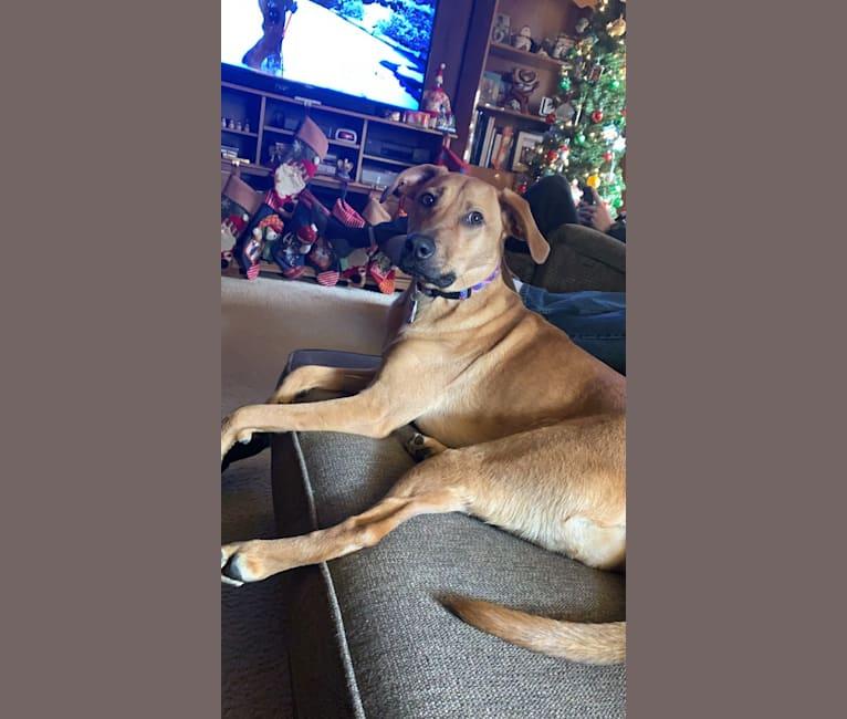 Photo of Luna, a Redbone Coonhound and German Shepherd Dog mix in Pittsburgh, Pennsylvania, USA
