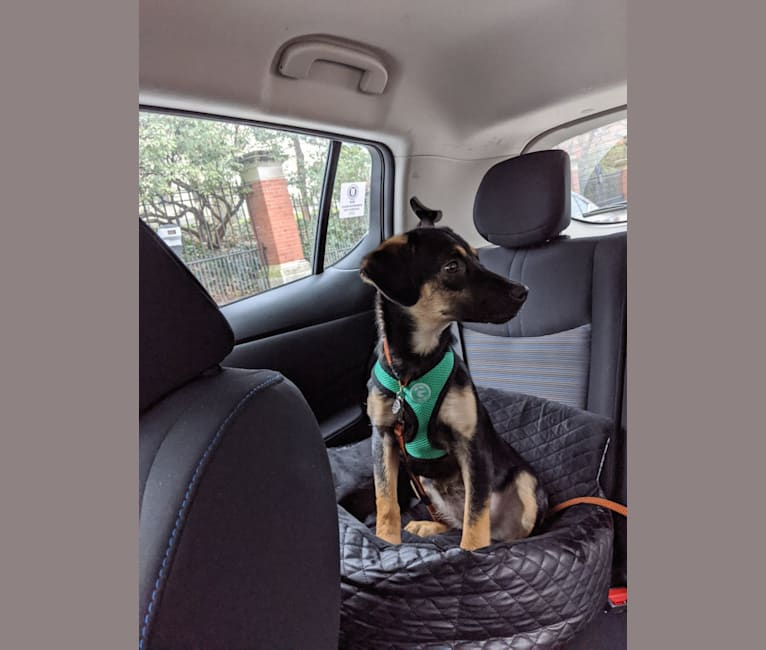 Photo of Clara, a Beagle, Australian Cattle Dog, American Pit Bull Terrier, Chow Chow, Golden Retriever, and Mixed mix in Texas, USA