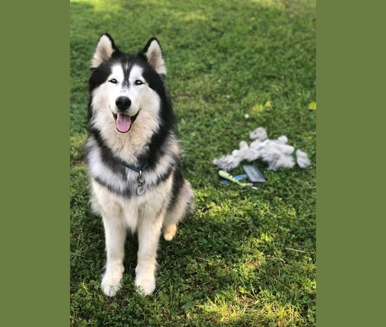 Photo of Zeke, a Siberian Husky (8.3% unresolved) in Fremont, CA, USA