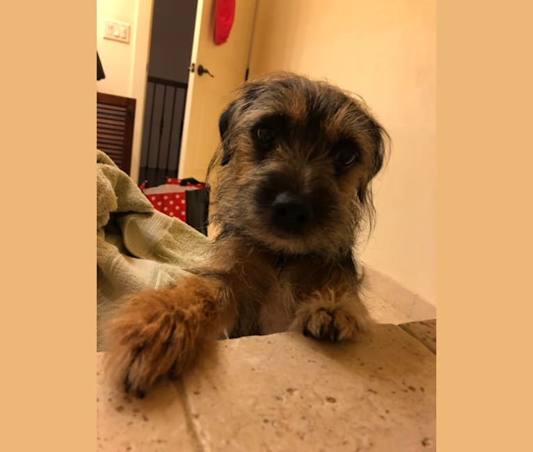 Photo of Snookie, a Border Terrier and Russell-type Terrier mix in Virginia Beach, Virginia, USA