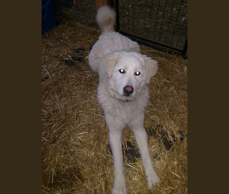 Photo of Halle, a Maremma Sheepdog  in Ashland, WI, USA