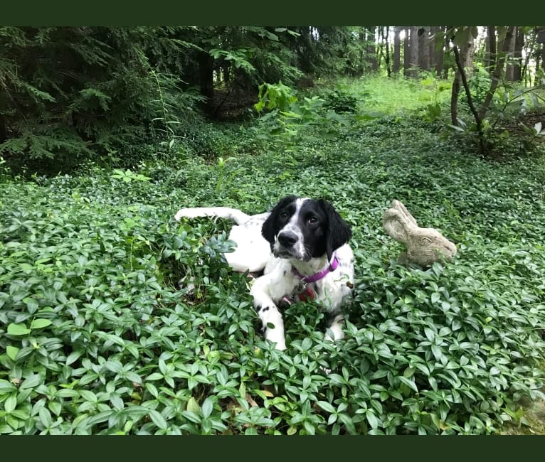 Photo of Emma, a Llewellin Setter  in Wadsworth, Ohio, USA