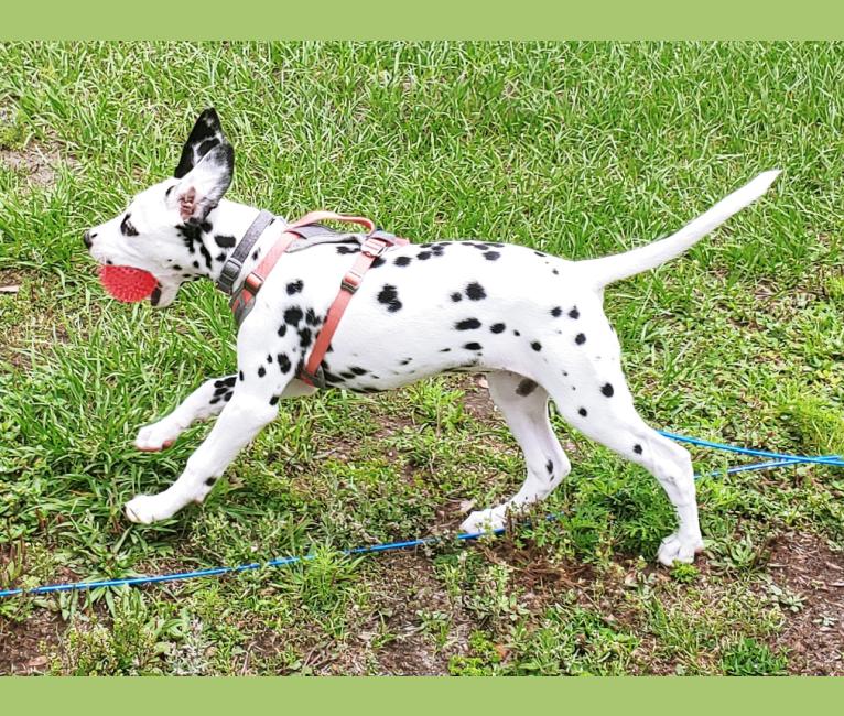 Photo of Kasumi Calvay, a Dalmatian  in St. Petersburg, Florida, USA