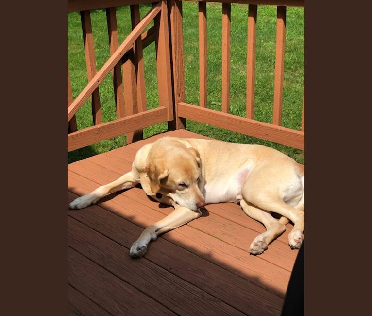 Photo of Maverick, a Labrador Retriever