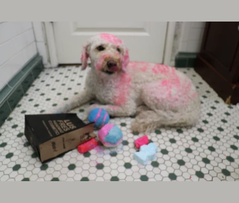 Photo of Ginger, a Goldendoodle  in Neosho, MO, USA