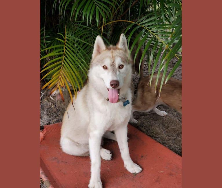 Photo of LeRoy, a Siberian Husky  in Arcadia, FL, USA