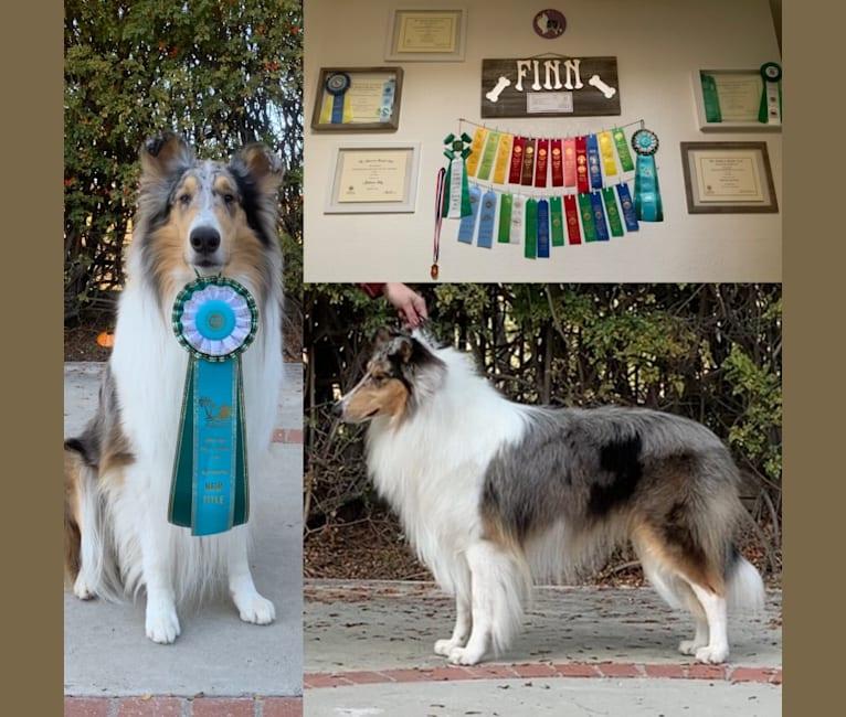 Photo of Finn, a Collie  in Centralia, WA, USA