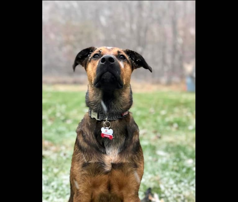 Photo of Louie, an Australian Cattle Dog and Labrador Retriever mix in Kentucky, USA
