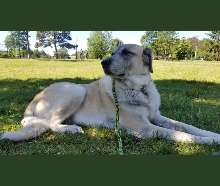 Photo of Ava, a Great Pyrenees and Anatolian Shepherd Dog mix in Dallas, TX, USA