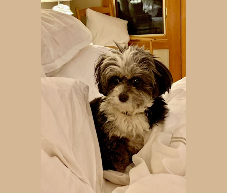 Photo of Sassy, a Shih Tzu, Miniature Pinscher, and Chihuahua mix in Big Spring, Texas, USA