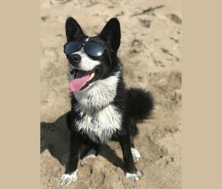 Photo of Ryder, a Siberian Husky, Australian Cattle Dog, Labrador Retriever, and Mixed mix in Watsonville, California, USA