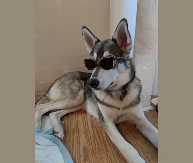 Photo of Nico, a Siberian Husky, Alaskan Malamute, and German Shepherd Dog mix in Phoenix, Arizona, USA