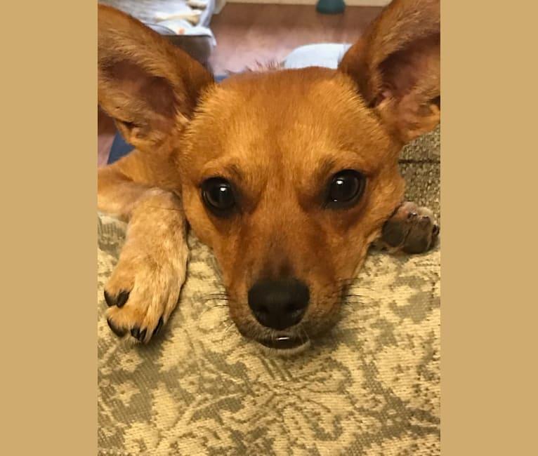 Photo of Callister, an Australian Cattle Dog, Chihuahua, and Pug mix in Georgia, USA