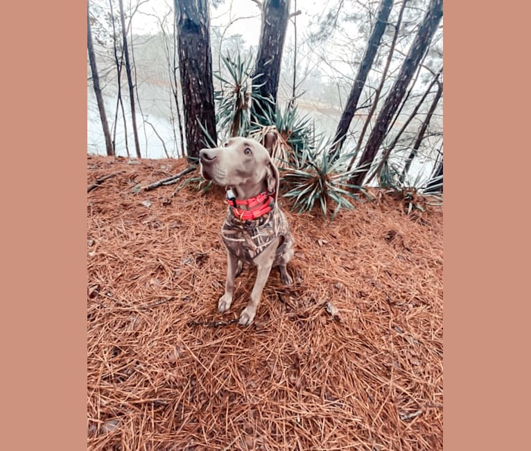 Photo of Oakley, a Weimaraner  in Alabama, USA