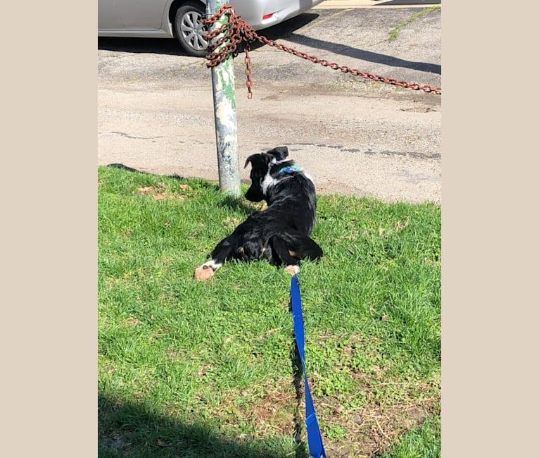 Photo of Saint, an Australian Shepherd, Australian Cattle Dog, Border Collie, and Bernese Mountain Dog mix in Columbus, Ohio, USA