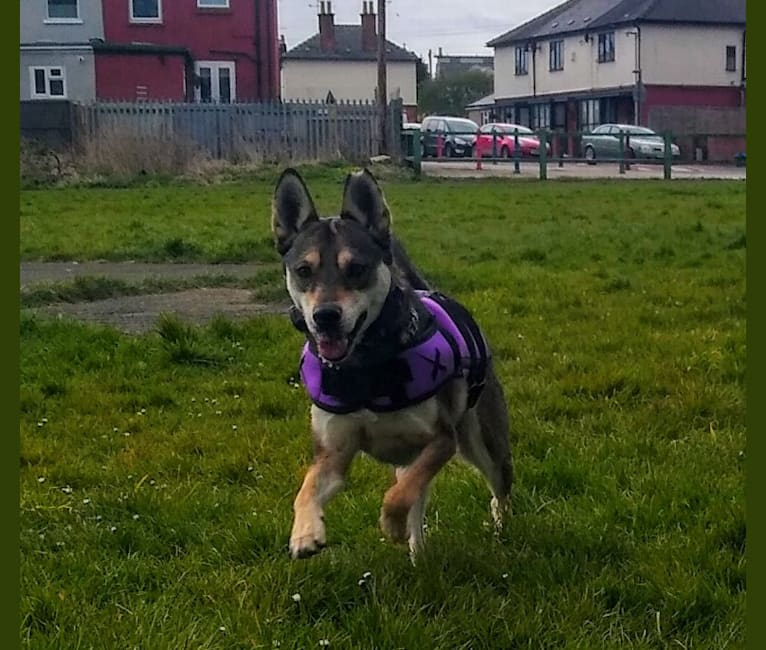 Photo of Ria, a Siberian Husky, Rottweiler, and Staffordshire Bull Terrier mix in Gloucester, England, United Kingdom