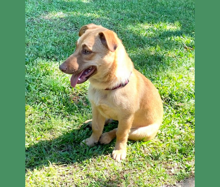 Photo of Chip, a Border Collie, American Pit Bull Terrier, and Mixed mix in Columbus, Mississippi, USA