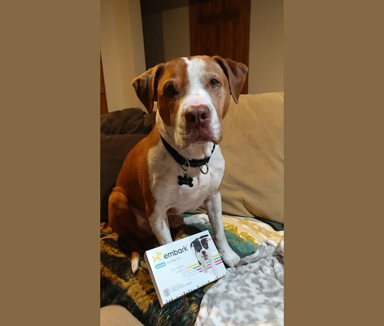 Photo of Bacon, an American Pit Bull Terrier, Cocker Spaniel, Rottweiler, and Perro de Presa Canario mix in Minnesota, USA
