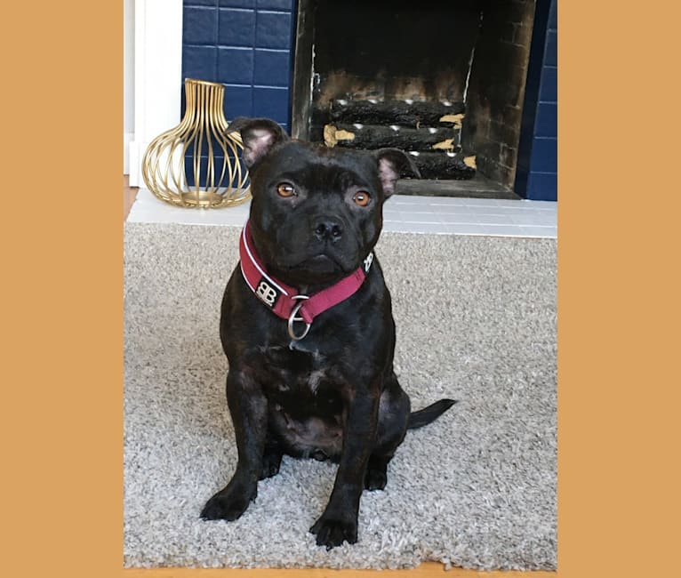 Photo of Raven, a Staffordshire Bull Terrier  in Vancouver Island, British Columbia, Canada