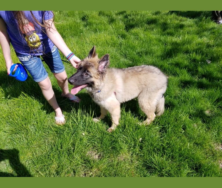 Photo of Samson, a German Shepherd Dog and Belgian Malinois mix in Norfolk, NE, USA