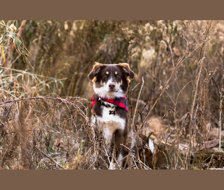 Photo of Finn, an Australian Shepherd and Mixed mix in McConnelsville, Ohio, USA
