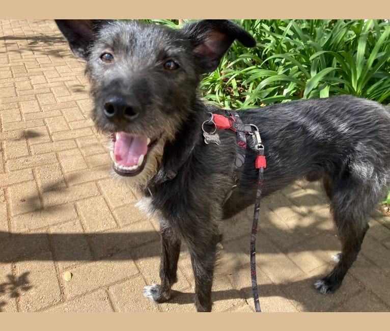 Photo of Coby, an American Pit Bull Terrier, Pekingese, German Shepherd Dog, Poodle (Small), and Mixed mix in State of São Paulo, Brazil