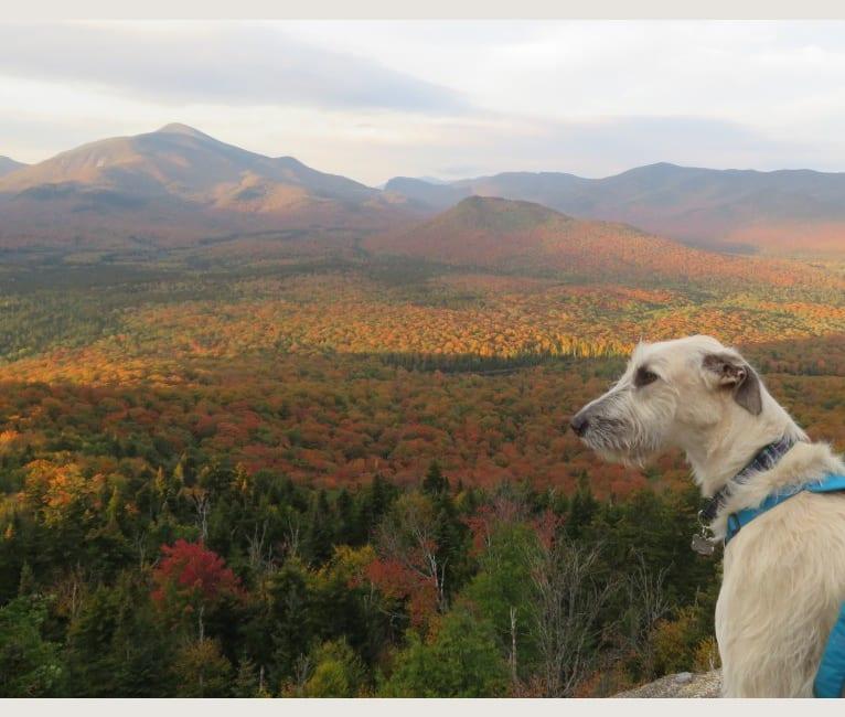 Photo of Talus, an Irish Wolfhound  in Indiana, USA
