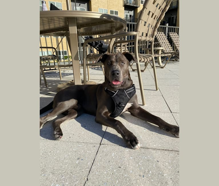 Photo of Kai, an American Pit Bull Terrier, Labrador Retriever, Chow Chow, and Mixed mix