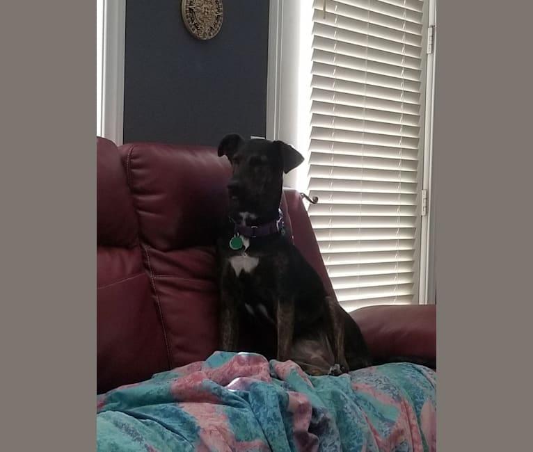 Photo of Roux, a Doberman Pinscher, Airedale Terrier, German Shepherd Dog, and Mixed mix