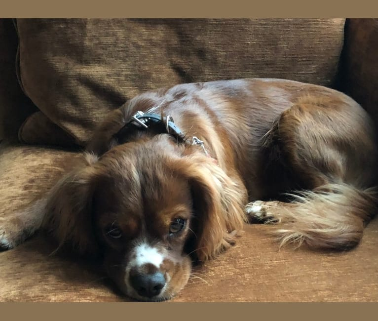 Photo of Griffen, a Cavalier King Charles Spaniel  in Gainesville, Georgia, USA