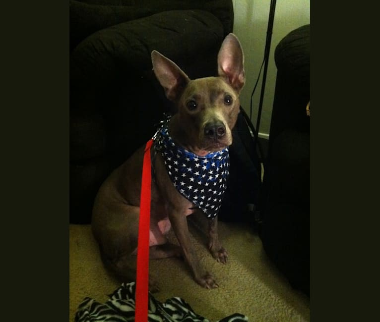 Photo of Levon, an American Pit Bull Terrier, American Staffordshire Terrier, Chow Chow, and Mixed mix in Midlothian, Texas, USA