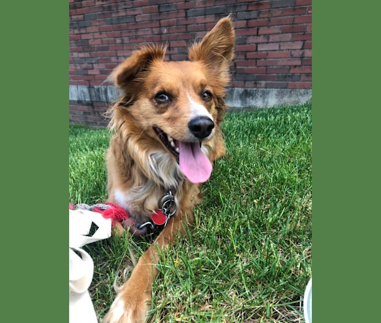 Photo of Bandicoot, a Chihuahua, Australian Cattle Dog, American Pit Bull Terrier, and Mixed mix in Texas, USA