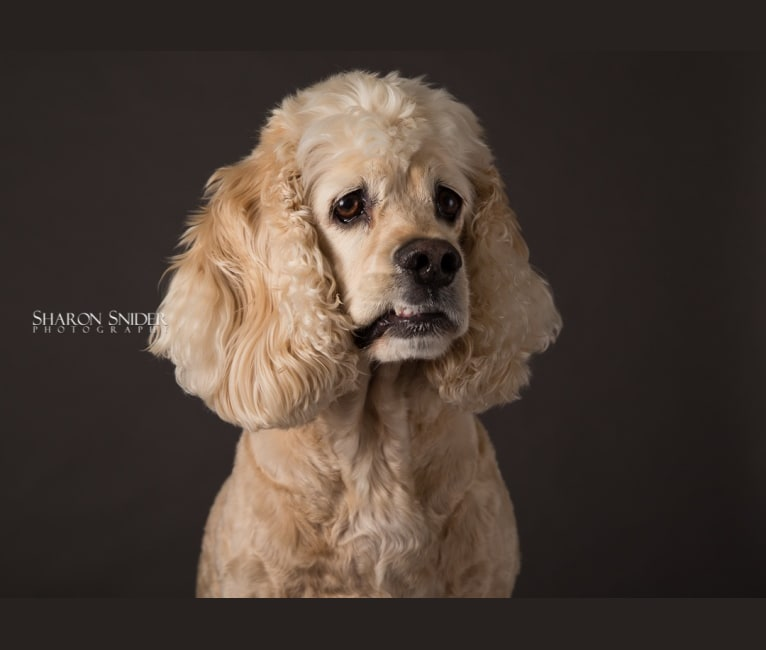 Photo of Joey, a Cocker Spaniel  in Comox, British Columbia, Canada