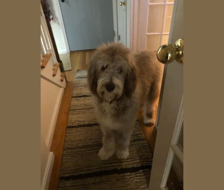 Photo of Roscoe, a Poodle (Standard) and Golden Retriever mix in Little Rock, Arkansas, USA