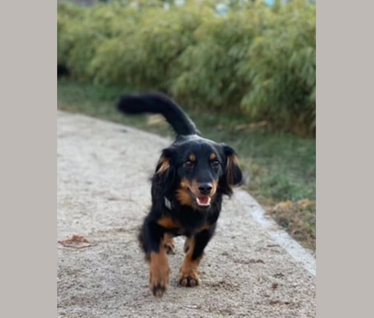 Photo of Franco, a Dachshund, Russell-type Terrier, and Mixed mix in Čepin, Osječko-baranjska županija, Hrvatska