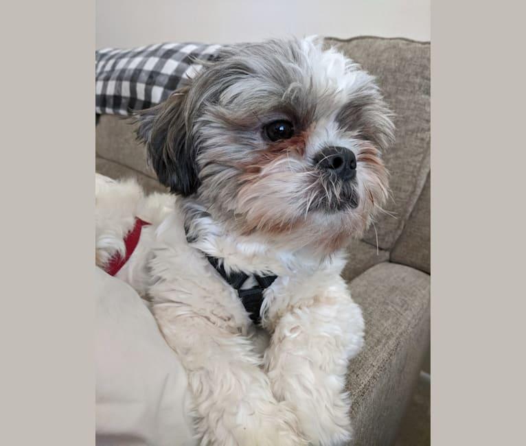 Photo of Ollie, a Shih Tzu  in Parkesburg, Pennsylvania, USA