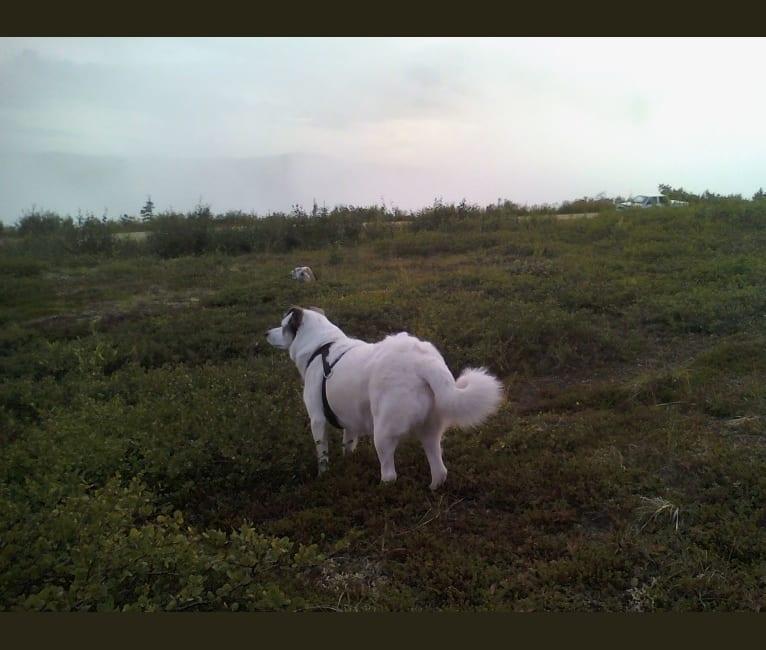 Photo of Buddy, an American Eskimo Dog, Norwegian Elkhound, Labrador Retriever, German Shorthaired Pointer, and Golden Retriever mix in Nulato, Alaska, USA
