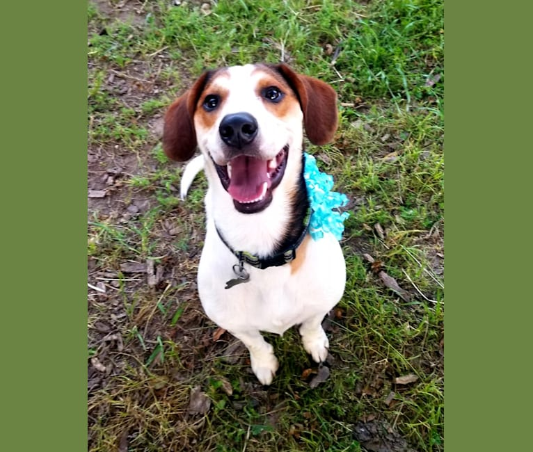 Photo of Clyde, a Basset Hound and Australian Cattle Dog mix in Ivanhoe, Texas, USA
