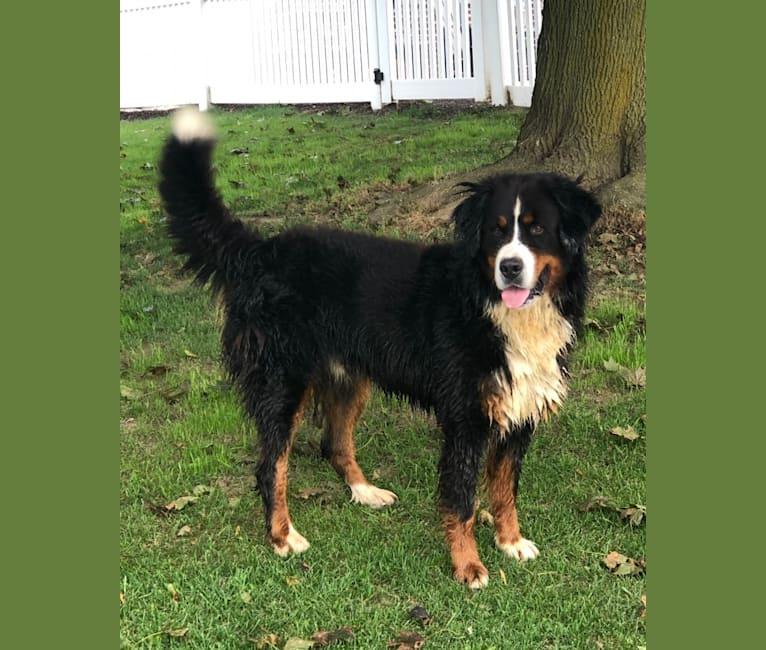 Photo of Bo, a Bernese Mountain Dog  in Wauseon, Ohio, USA